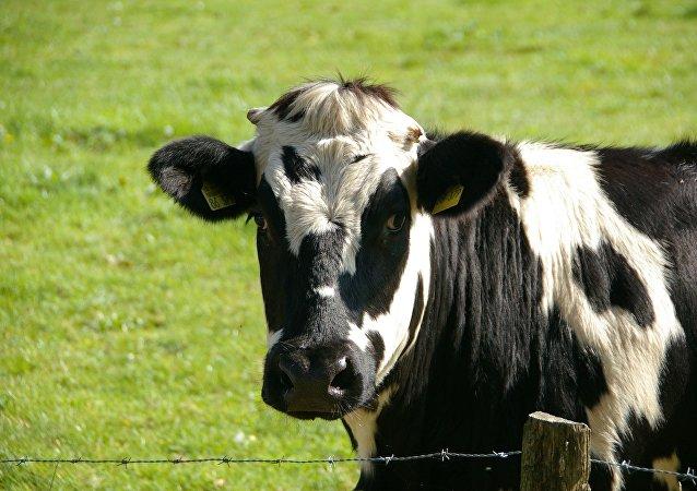 Una vaca (archivo)