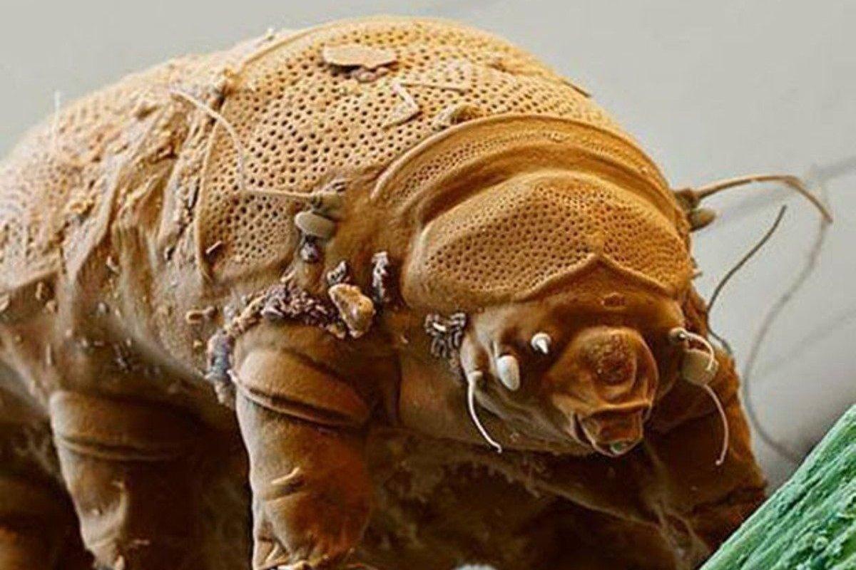 Los tardígrados son unos invertebrados terrestres microscópicos increíblemente resistentes a las condiciones extremas. Pueden sobrevivir tanto en el vacío del espacio, como a presiones 6.000 veces mayores que la de nuestra atmósfera, a temperaturas de –200°C  a los +150°C, bajo radiación ionizante y hasta 10 años sin obtener agua.