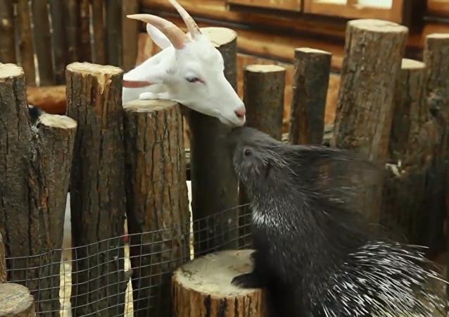 La increíble relación entre un puercoespín y una cabra en el zoológico de la ciudad de Ufá