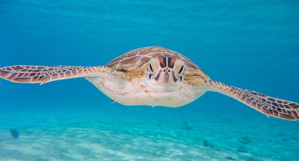 Una tortuga verde (imagen referencial)