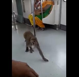 Un macaco yendo en metro en la India
