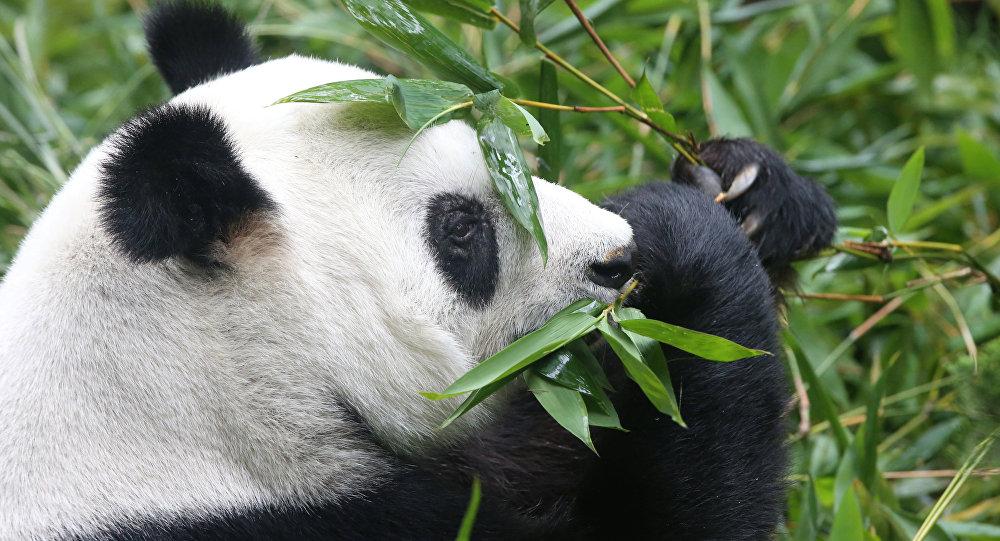 Se murió el panda más viejo del mundo