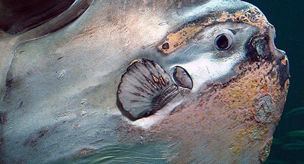 Un monstruoso pez de una tonelada es capturado en Rusia (FOTOS)