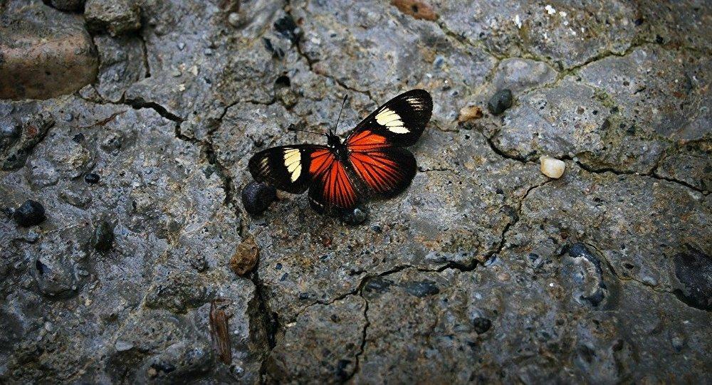 Una mariposa en la piedra, una especie en peligro de extinción