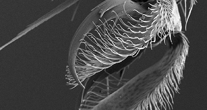 Turkmenocampa mirabilis, visto bajo el microscopio