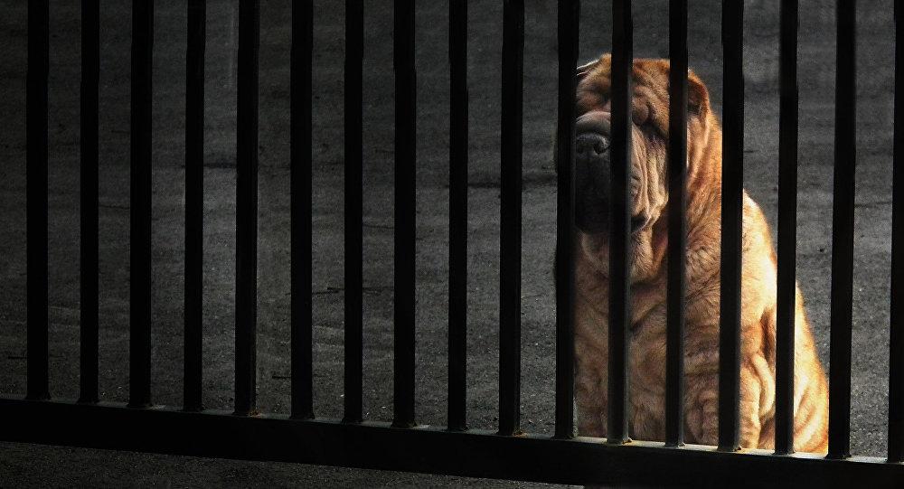 Un perro de raza shar pei (Archivo)