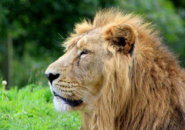 Un león (imagen referencial)