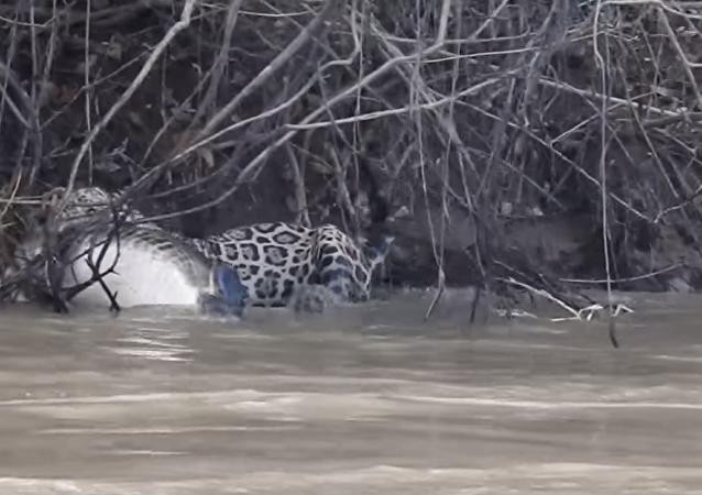 El ataque de un jaguar a un caimán