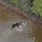 Las impactantes imágenes de la lucha de un alce a vida o muerte