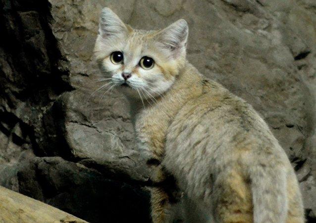 Un gato de las arenas