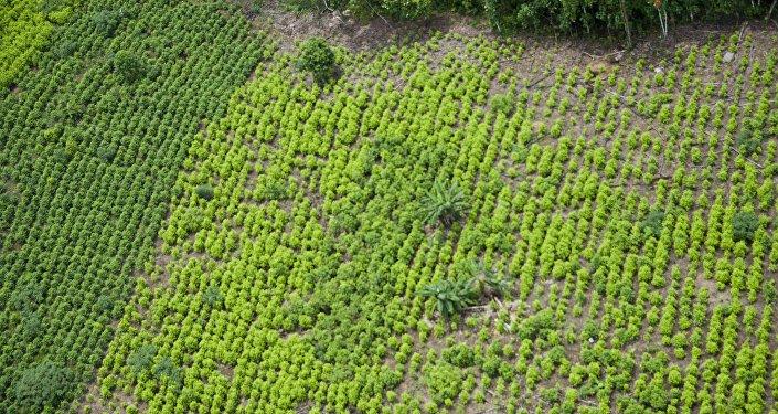 Una plantación de coca en Colombia