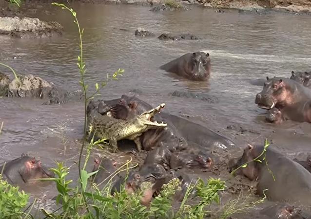 Todos contra uno: una manada de hipopótamos hace frente a un cocodrilo malintencionado