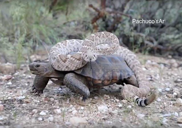 Una serpiente venenosa monta a una tortuga