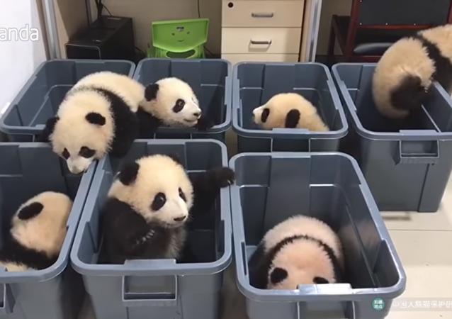 Crías de oso panda intentan escapar