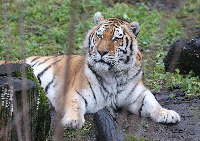 El tigre del zoo de Kaliningrado