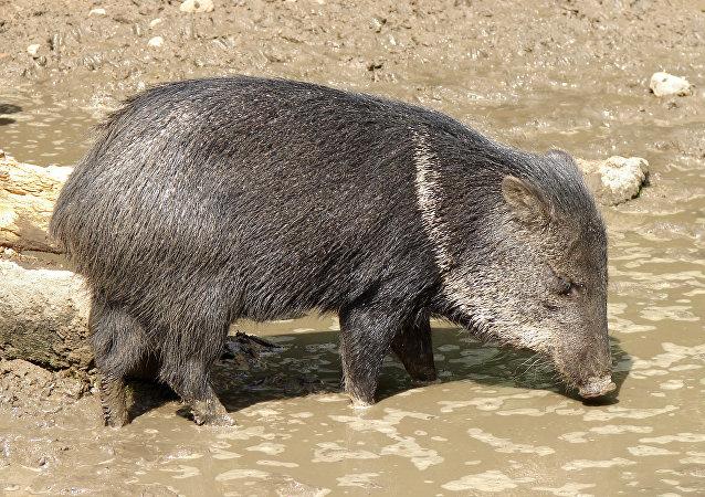 Un cerdo de monte