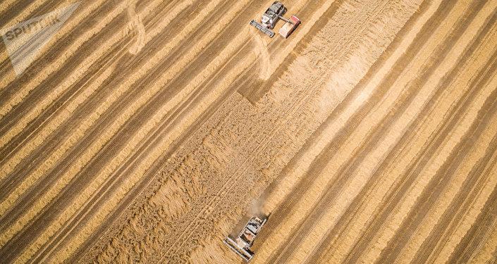 Cosecha de trigo en la región de Krasnodar