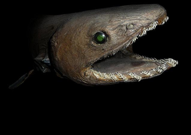 Un tiburón de la especie Chlamydoselachus anguineus