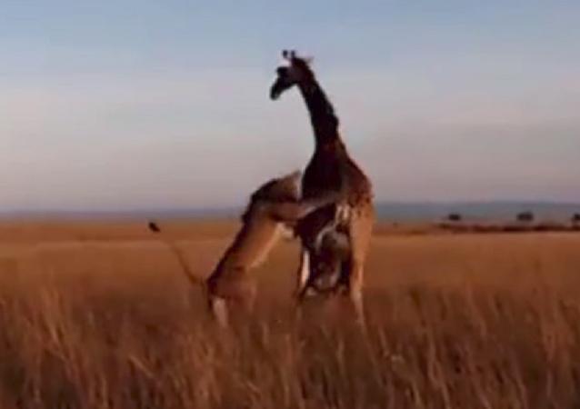 Naturaleza implacable: una jirafa no puede salvar a su cría de las garras de un león