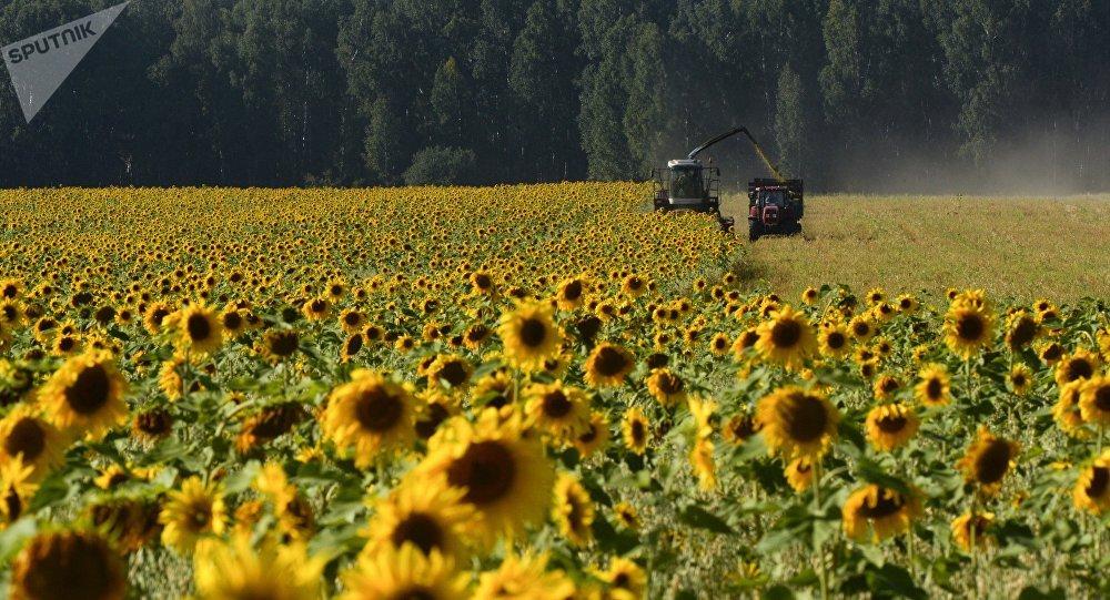Un campo de girasoles en Rusia