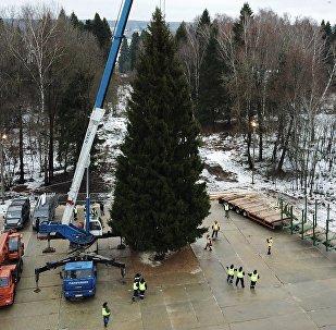Eligen el árbol de Navidad más importante de Rusia