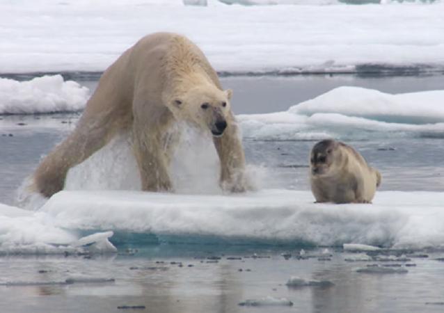 Ataque relámpago: un hambriento oso polar sorprende y devora a una foca