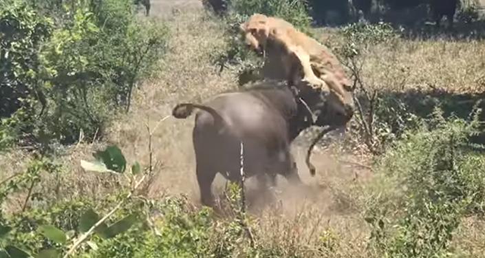 Así fue el ataque de un búfalo contra una leona