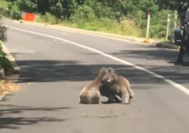 Dos preciosos koalas se van a las manos