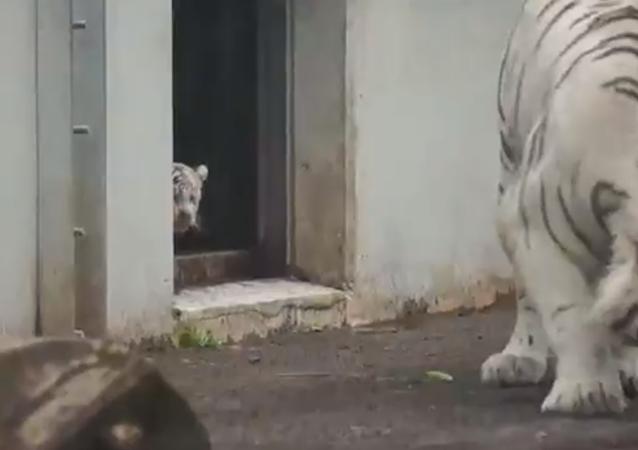 Un pequeño tigre blanco da un susto 'de muerte' a un ejemplar adulto