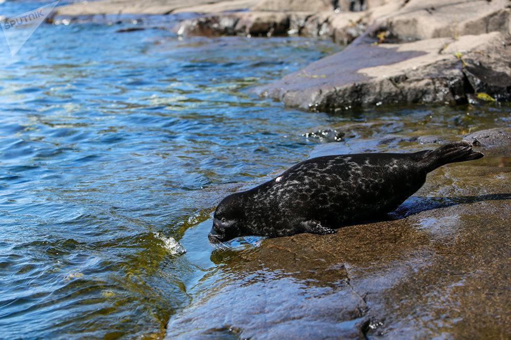 La foca anillada de Ládoga
