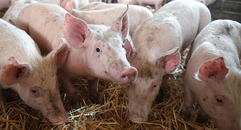 Granja de cerdos en Francia (archivo)