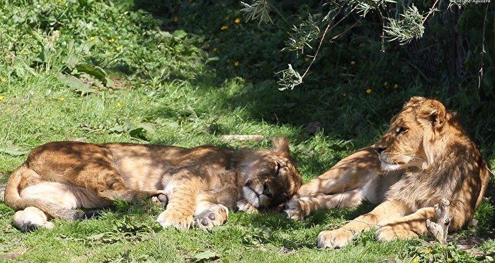 Una pareja de leones