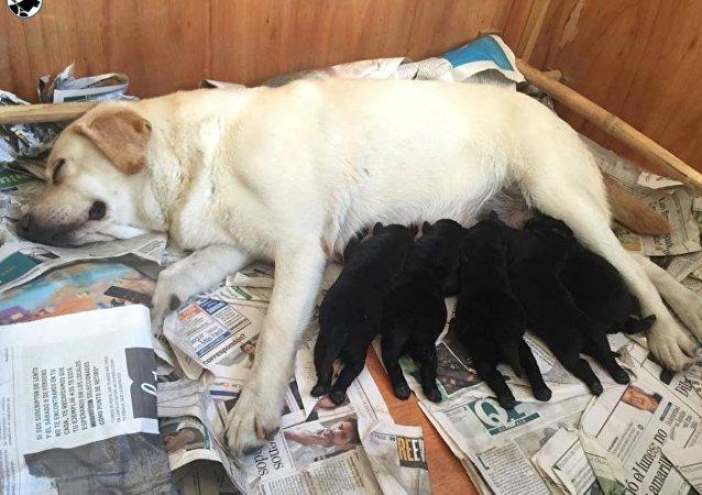 Una camada de perros de Fundappas, una organización que entrena perros guía y de asistencia para usuarios no videntes o autistas