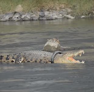 Un cocodrilo en Indonesia con un neumático en el cuello