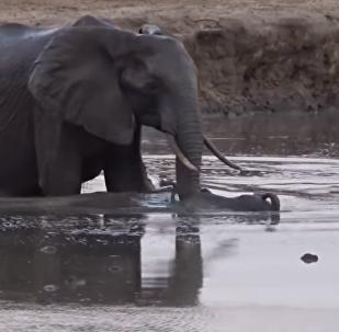 Una elefante protegiendo a su hijo de un hipopótamo