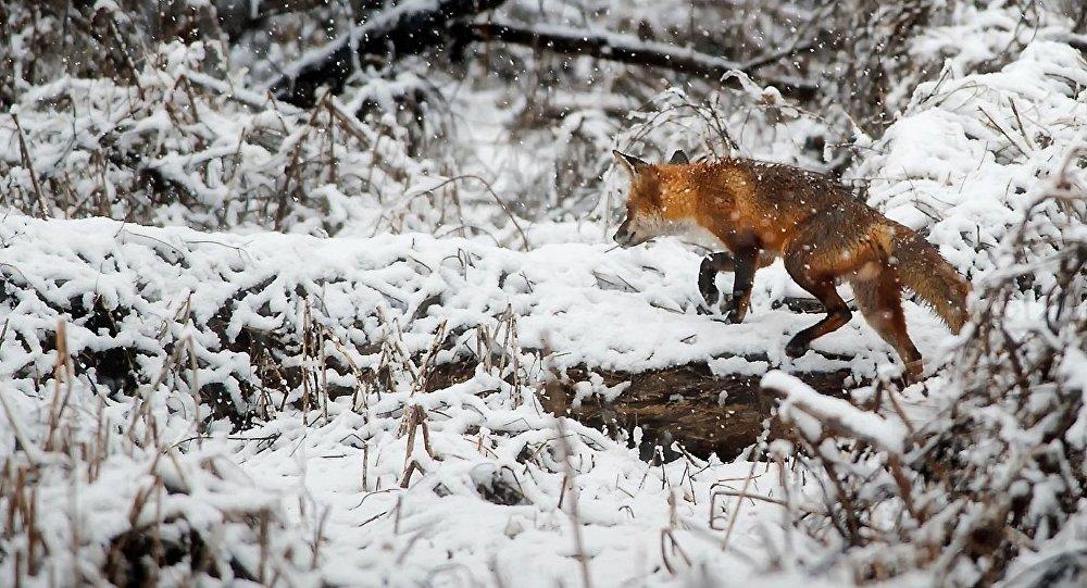 Un zorro, imagen referencial