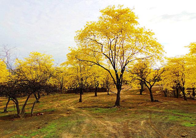 El florecimiento de guayacanes