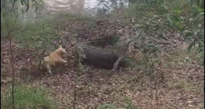 Batalla entre un perro y un cocodrilo