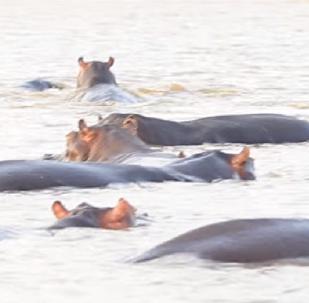 ¿Velocidad o tamaño? Unos hipopótamos se enfadan con un tiburón