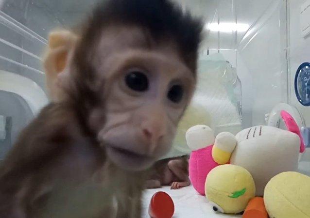 Científicos crean un clon exitoso de un primate