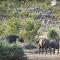 Dos búfalos salvan a una cría de elefante de un ataque de leones