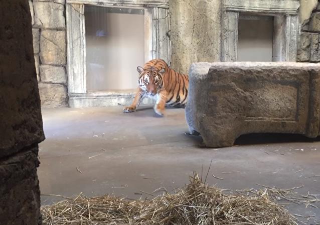 Un tigre, segundos antes de 'atacar'
