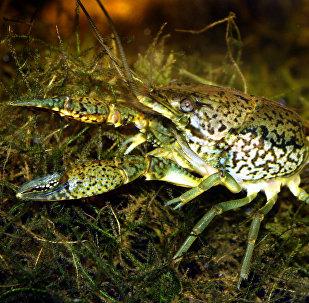 Procambarus fallax forma virginalis, la especie mutante de cangrejo de agua dulce que se expande por el mundo