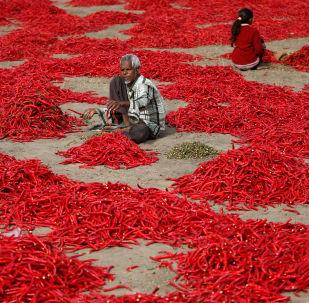 Un granjero de la India limpia guindillas —chile— a las afueras de Ahmedabad.