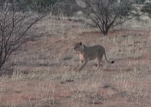 Varios leones intentan dar caza a una hiena... pero su astucia la salva