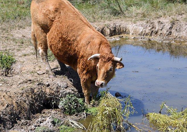 Una vaca Limousin