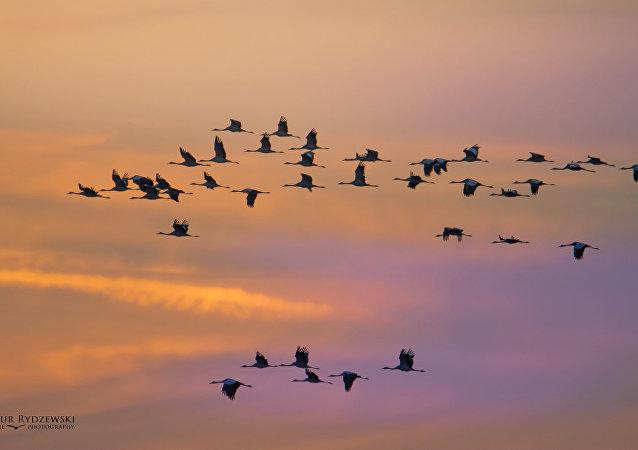 Migración de las aves (imagen referencial)