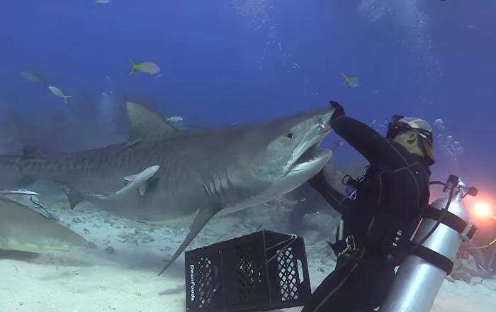 Danza mortal: un tiburón tigre 'baila' con un buzo