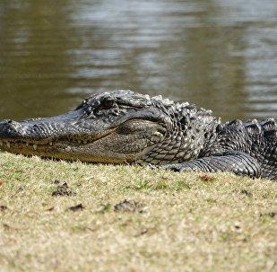 Un cocodrilo