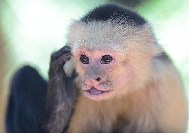 El mono capuchino (archivo)
